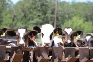 Dairy cows struggling with the summer heat wave. (Kayla Hall, Texan News Service)